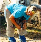 Shoeing Appaloosa