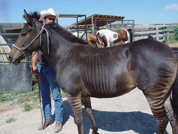 Zorse For Sale >> Blog 365 Days In Horse Country The Zorse
